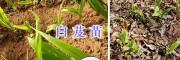云南白芨组培苗、玉溪2年白芨驯化苗