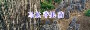 曲靖高产红苹果苗—龙威苹果苗结果多-马龙苹果