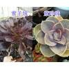 多肉植物春萌/葡萄栽培乙女心&紫羊绒/珍珠出售—昆明多肉