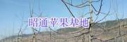 昭通红富士苹果苗哪里多—昭阳区红富士种植合作社