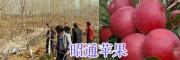 昭通苹果苗销售合作社#15284506409昭通苹果采摘基地
