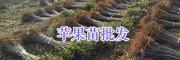 哪里批发红富士苹果苗-昭通红富士果苗种植基地