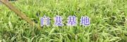 云南保山紫花白芨苗/白芨鲜货-种植基地
