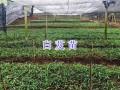 供应紫花三叉白芨苗批发_保山隆阳区白芨种植基地