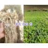 大叶龙胆(秦艽)苗销售:云南迪庆州秦艽种植