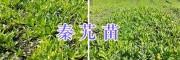迪庆州秦艽种植基地-秦艽苗出售_云南秦艽苗供应商