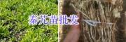 秦艽苗预定-秦艽苗种植技术指导/云南秦艽种植公司