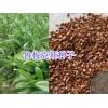 墨西哥玉米牧草-荞麦种子象草甜高粱批发