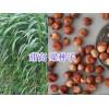 优质牧草紫花苜蓿、荞麦种子批发,紫云英-苏丹草