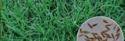 哪有草坪种?马蹄金种子#白三叶、碱茅草种子批发