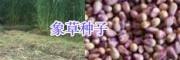 销售串叶松香草/皇竹草/菊苣种子-黑麦草种子_三农牧草种子