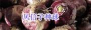 贵州/云南蛇目菊-矢车菊/鼠尾草种子销售松果菊