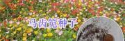 绿化花草种子天人菊、万寿菊&五彩石竹、勿忘我种子供应