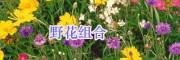 江苏绿化工程野菊花/一串红种子销售-虞美人、郁金香种子