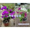 昆明三角梅基地-叶子花/三角花盆栽销售15825265652
