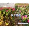 昆明红色三角梅&紫色三角梅盆栽批发,芊荨三角梅基地