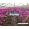 四季紫三角梅-15825265652*昆明三角梅多少钱一盆