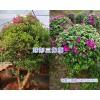 球形三角梅/叶子花球形盆栽-昆明宜良三角梅