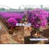 昆明紫色三角梅/宜良三角花盆栽品种#红色三角梅和紫色区别