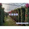 三角梅柱批发-昆明三角梅柱销售/15825265652