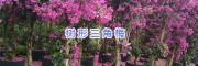 昆明树形三角梅批发-三角梅树形基地_云南芊荨三角梅