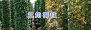昆明三角梅柱形盆栽—云南三角梅(叶子花)盆栽出售