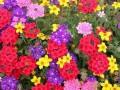 绿化工程鲜花种子图片、牧场高产牧草种子图片_薰衣草\野菊花