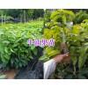 海南牛油果苗批发-云南/广西牛油果苗供应_云南热带水果苗