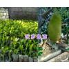 海南马来西亚菠萝蜜苗&云南黑金刚红宝莲/大叶红莲雾苗供应