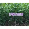 台湾香水柠檬苗价格/三红蜜柚苗批发商-云南橡胶苗供应