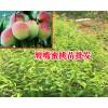 冬桃苗多少钱一棵_冬桃价格在多少一斤_今年冬桃苗价格