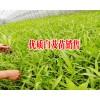 紫花三叉小白芨苗报价表_白芨种苗哪里在销售—白芨小苗供求信息