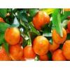 溪晚芦、沃柑、红桔树苗多少钱一株?