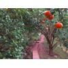 溪晚芦、沃柑、红桔果树苗哪里多?