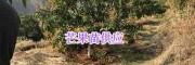 1米以上芒果种苗价格#红河州哪里芒果树大苗多_云南芒果苗