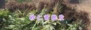 马关砂仁苗-文山砂仁种植户/云南砂仁新品种