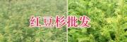 保山红豆杉栽培基地-腾冲学胜苗圃-13529548756