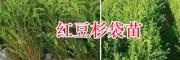 昆明红豆杉苗销售基地-红豆杉袋苗&50-70公分红豆杉苗批发