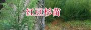 南方红豆杉袋苗#石林南方红豆杉基地-昆明红豆杉种植