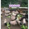 云南巴马香猪养殖场13577739116-玉溪小香猪批发