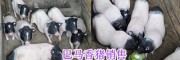 玉溪巴马香猪肉销售/巴马香猪生态养殖—云南香猪供应