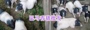 巴马香猪(仔)种猪价格-玉溪香猪养殖_云南香猪供应