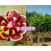 红心橙苗供应:产地大理红心脐橙苗批发15198379157