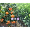 大理柑桔苗供应:宾川柳叶桔-岩溪晚芦(芦柑)苗销售