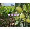 云南青花梨种植-宾川青花梨苗销售15198379157