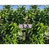 云南柚子苗一棵多少钱/枇杷苗品种-大理枇杷苗销售