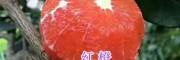 红心橙苗批发-大理宾川红橙苗_云南红肉脐橙苗销售