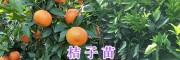 哪有皇帝贡柑苗-茂谷柑苗?云南大理茂谷柑、贡柑丑柑苗圃基地