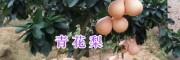 青花梨苗销售-大理青花梨种植—青花梨苗15750235992