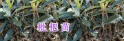 云南枇杷苗供应&柚子苗销售-大理柚子苗种植指导